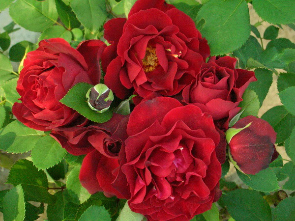 フレンチローズのバラの苗 デルバール