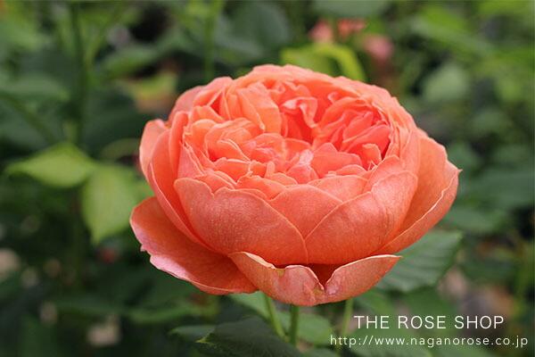 デビッドオースチンのイングリッシュローズ「サマーソング」のバラの苗