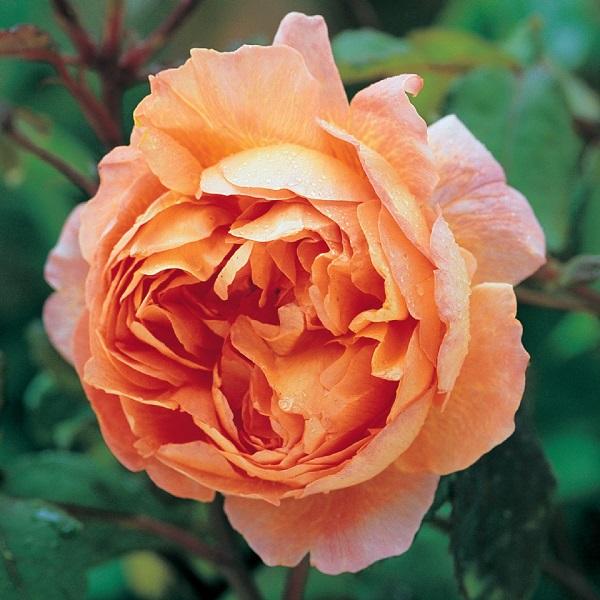 レディエマハミルトン イングリッシュローズ バラの苗