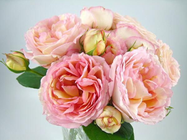 フレンチローズのバラの苗 ぺっしゅぼんぼん