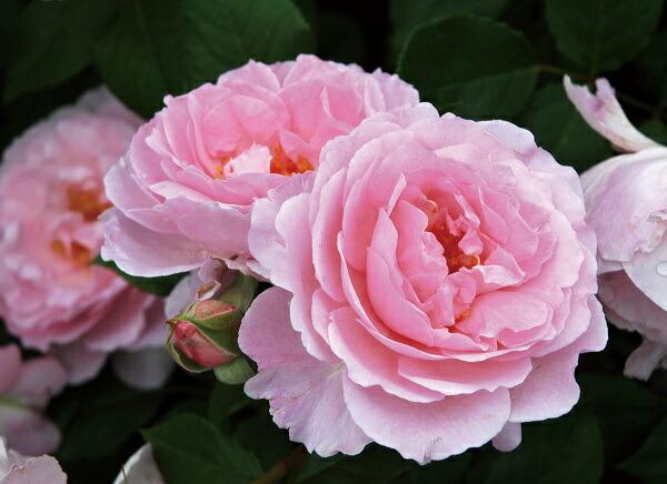香りがすばらしい夢香のバラの苗