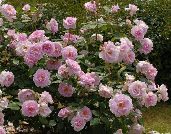 香りがすばらしいバラ、夢香のバラの苗