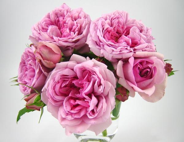 ろーずぽんぱどーるのバラの苗、フレンチローズ