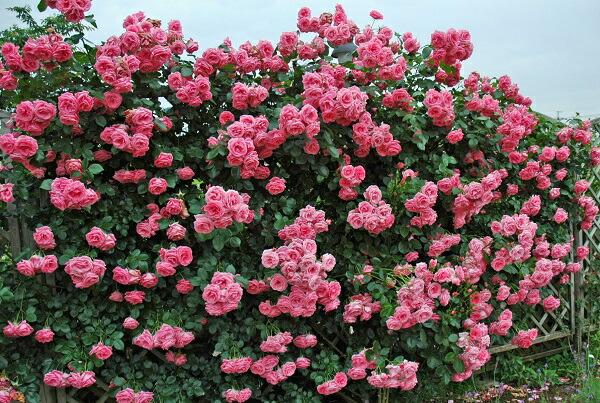 四季咲きのつるバラ、ラヴィ—ニアのバラの苗