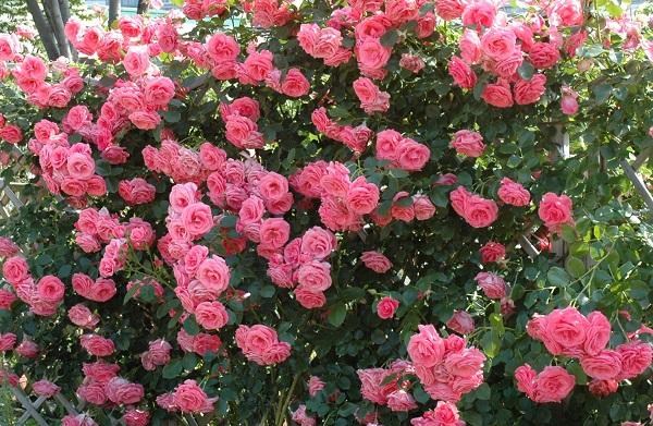 四季咲きのつるバラ、らびーにあ