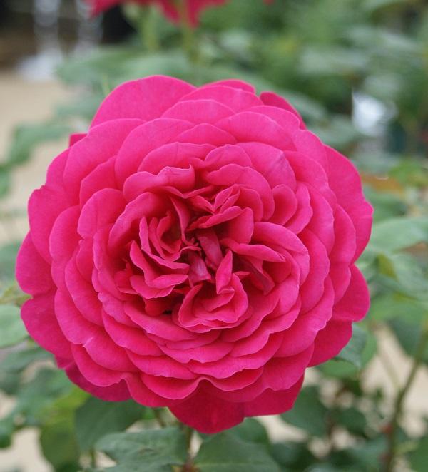 人気の香りのバラ、ゲーテローズのバラの苗