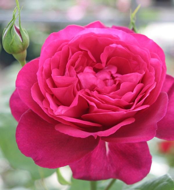 香りのバラ、ゲーテローズのバラの苗
