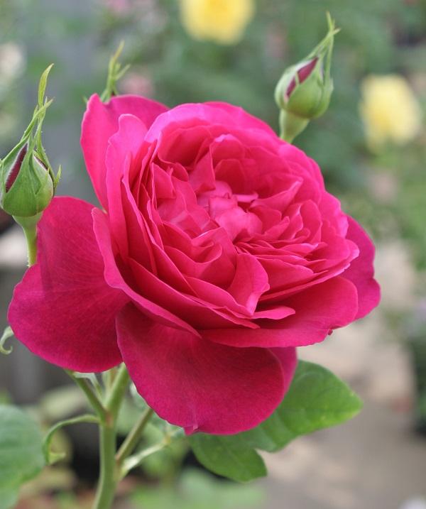 おすすめの香りのバラ、ゲーテローズのバラの苗