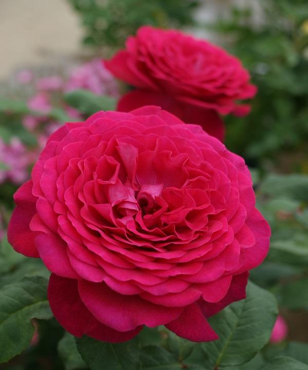 おすすめの香りも楽しめるバラ、ゲーテローズのバラの苗