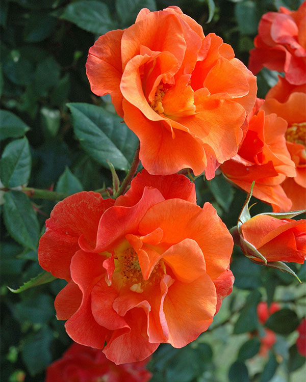 プリンセスミチコのバラの苗