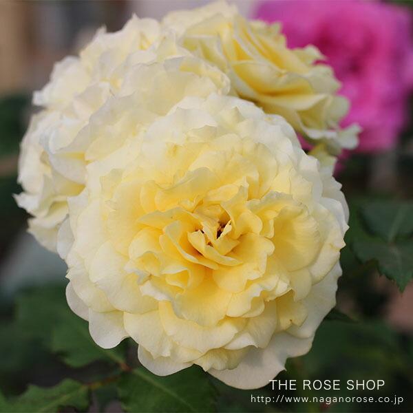ローズなかしまの黄色のバラ、ラルーチェ