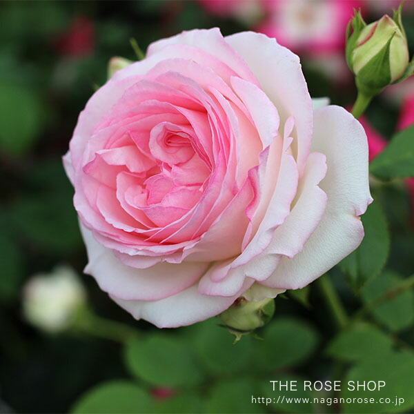 殿堂入りのバラ「ピエールドロンサール」のバラの苗
