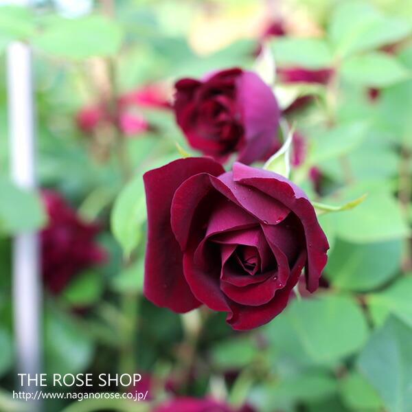オールドローズ ルイ14世 バラの苗 バラの花