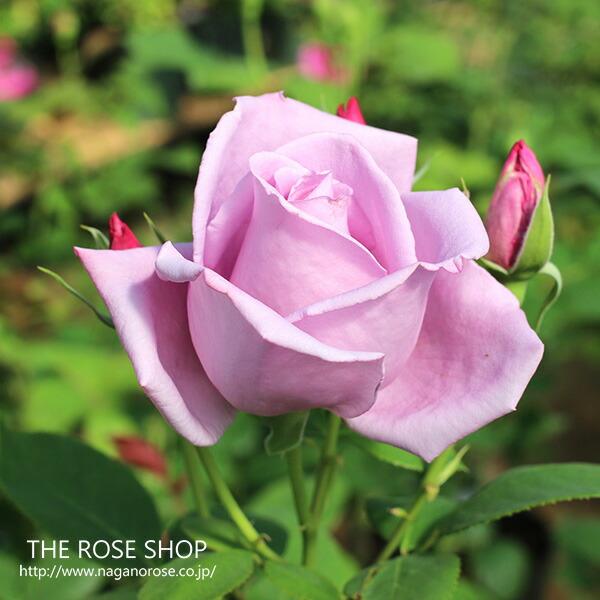 ブルームーンのバラ苗 紫のバラ 人気品種