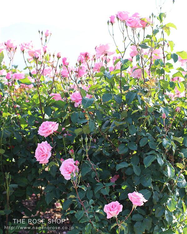 クイーンエリザベスのバラ苗