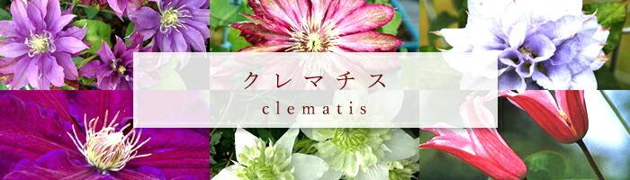 クレマチスの苗