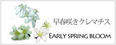 早春咲きのクレマチス
