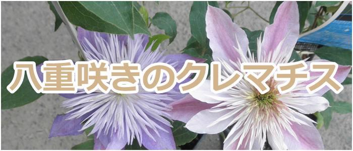 八重咲きのクレマチス
