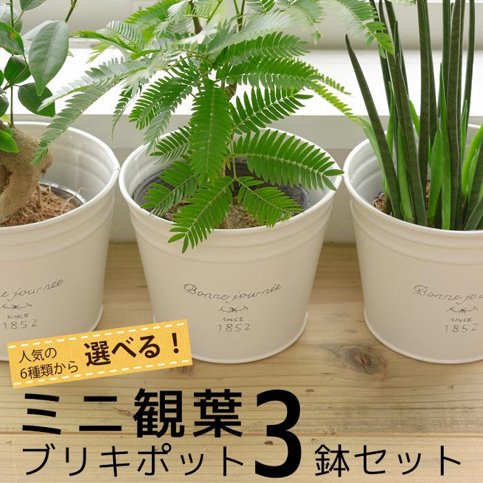 ミニ観葉ブリキポットの3鉢セット