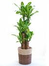 観葉植物ドラセナ・マッサンゲアナ(幸福の木)