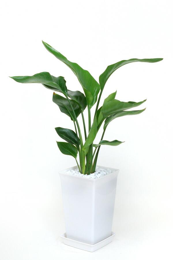 観葉植物オーガスタ