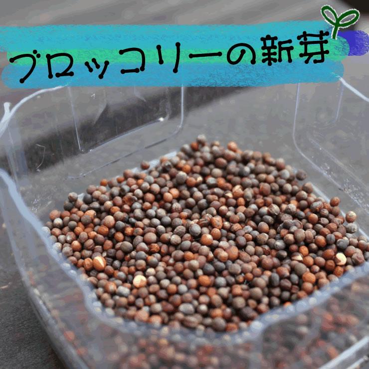 ブロッコリーの新芽(スプラウト)の種1袋・水耕栽培で育つので土は不要です。