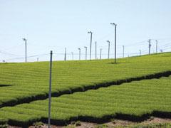 【静岡茶】遠州森の茶畑