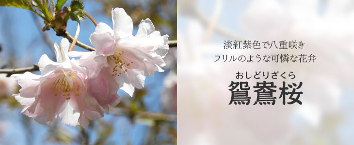 桜「オシドリ桜」