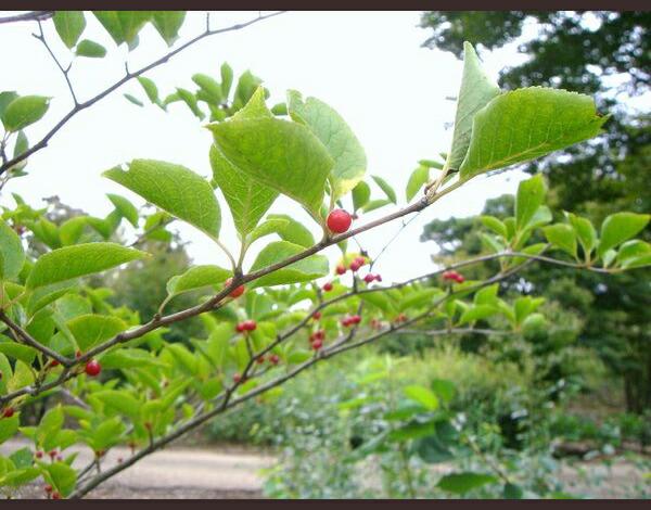 高級感のある庭木 高級感のある庭木 さわやかな葉と幹肌 さわやかな黄緑色の葉と、青グレー...