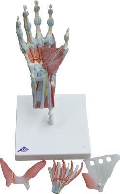 手腕骨骼结构图; 3b公司手构造模型手关节条纹/韧带