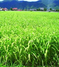 収穫を待つハトムギ畑の写真