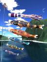 Tokunaga streamers made tribute hand dyed Yuzen, carp crepe Kyoto Nishiki-6 m 8 piece set great banners