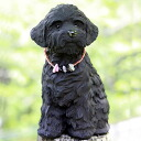 Toy poodle of the charcoal