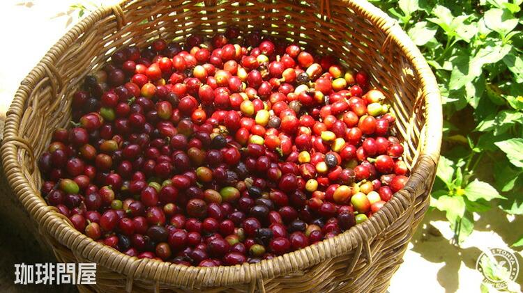 かごに収穫されたコーヒーチェリー