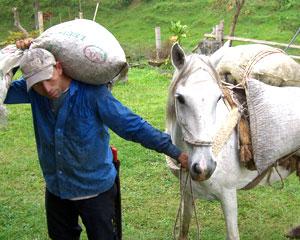 コーヒー豆を運ぶロバ