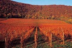 赤ワイン畑