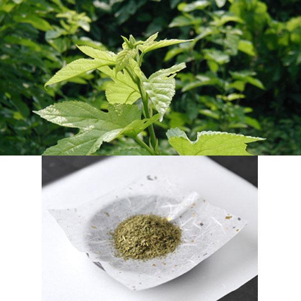 国内有机种植桑树叶片茶