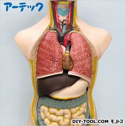 ●人体解剖模型(トルソー型)50cm   8735