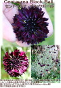 1 centaurea black ball bowl Centaurea Black Ball