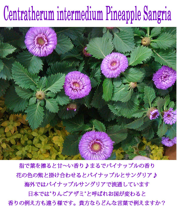 ... Centratherum intermedium Pineapple Sangria:ハッピーガーデン