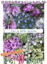 Owner chef スペシャルガーデニング flower seedling selection! Flower seedling perennial shukunegi