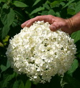 It is 6 bowl Hydrangea arborescens Anaabelle more than five hydrangea hydrangea Annabell spikes