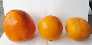 あんぽ柿原料の大きさ比較