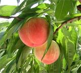枝に実る桃