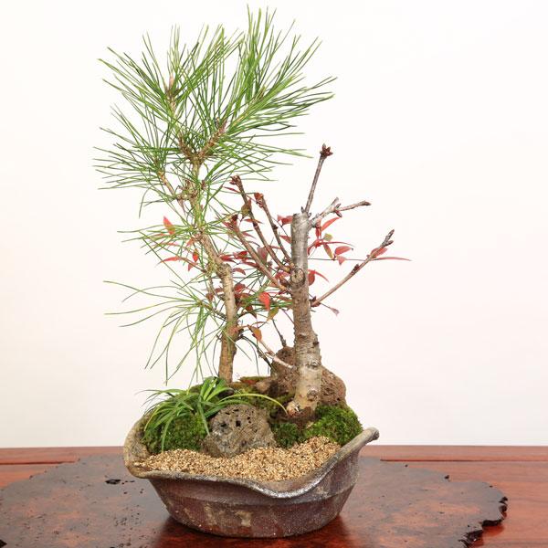 桜寄せ盆栽:八重桜・黒松寄