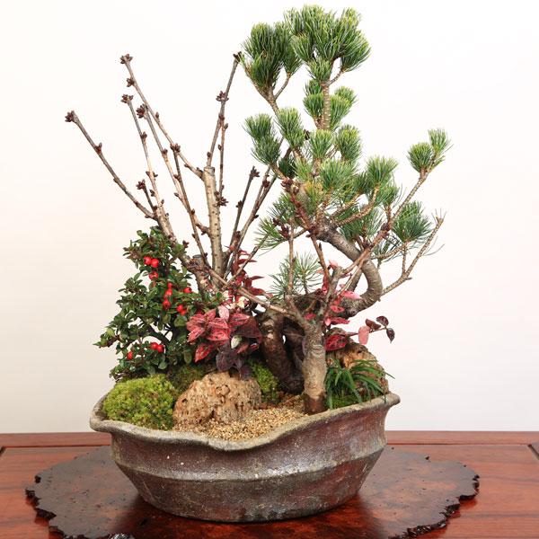豪華桜盆栽:御殿場桜・五葉松寄せ