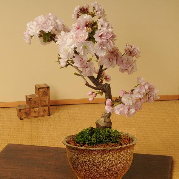 八重桜(信楽焼伊羅保鉢)