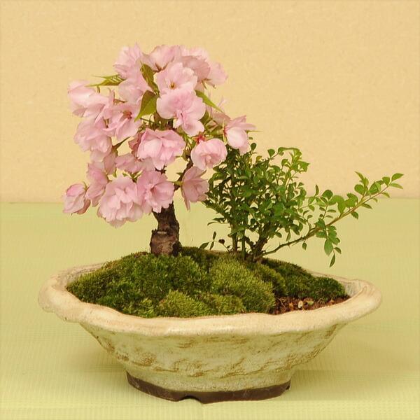 盆栽:桜・薔薇寄せ植え