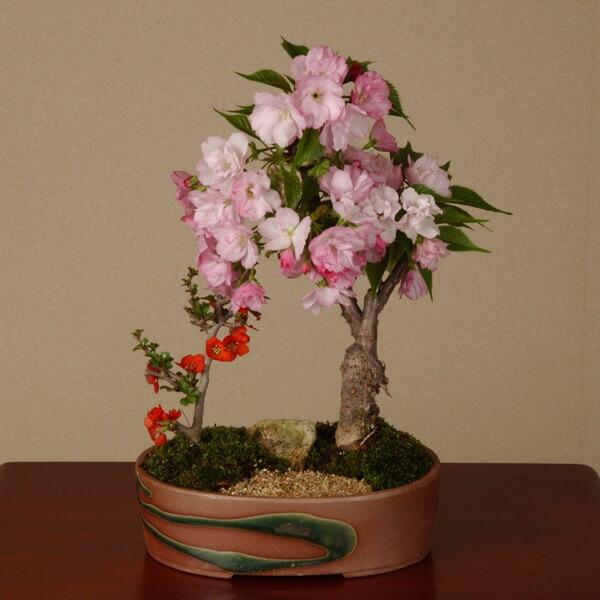 桜盆栽:桜・長寿梅寄せ(瀬戸焼鉢)