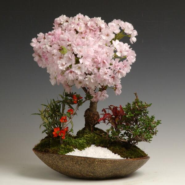 桜盆栽:八重桜寄せ(信楽焼鉢)